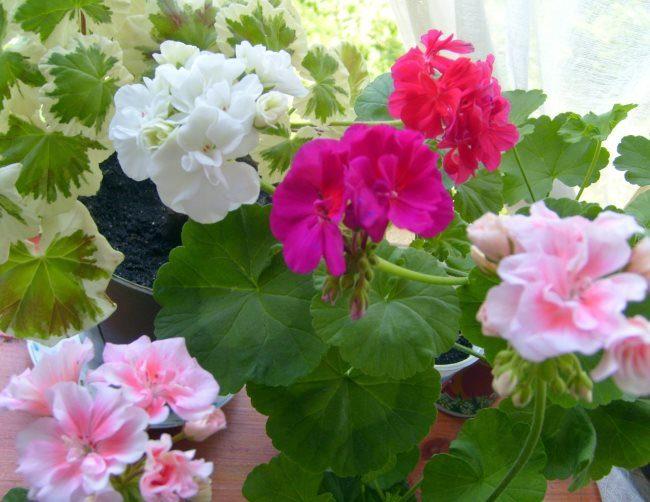Обильное цветение герани на подоконнике после весенней обрезки