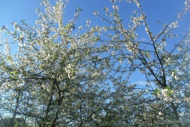 Белые цветки на высоких макушках вишневых деревьев