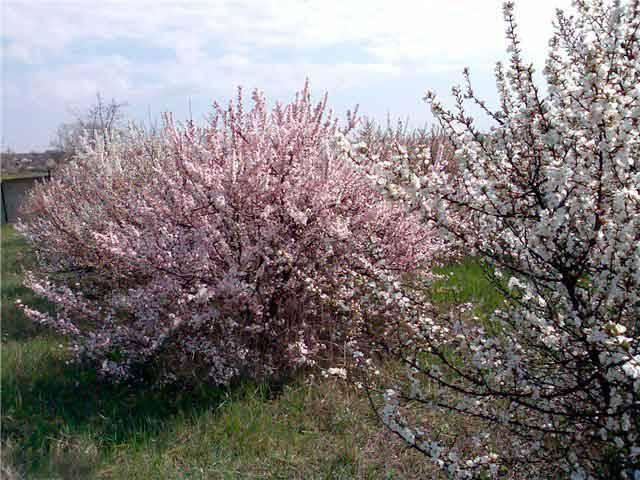 Вишневый сад с цветущими деревьями различных самобесплодных сортов