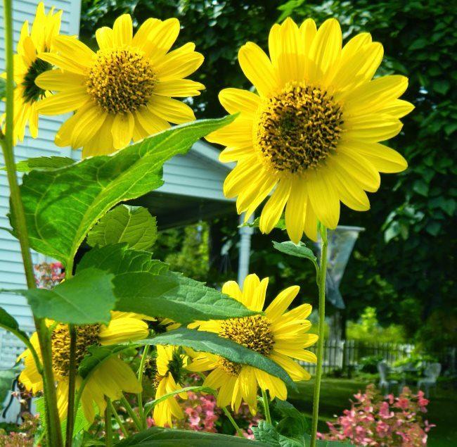 Желтые цветки декоративного многолетнего подсолнуха вблизи