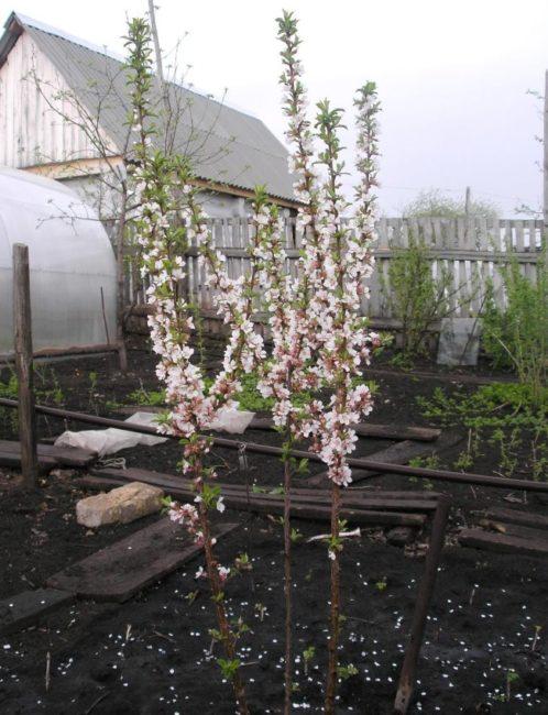 Цветение войлочной вишни на загородной даче в Подмосковье