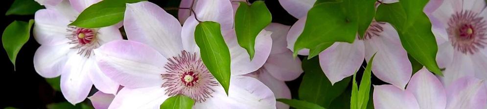 Яркие цветки клематиса в период цветения растения