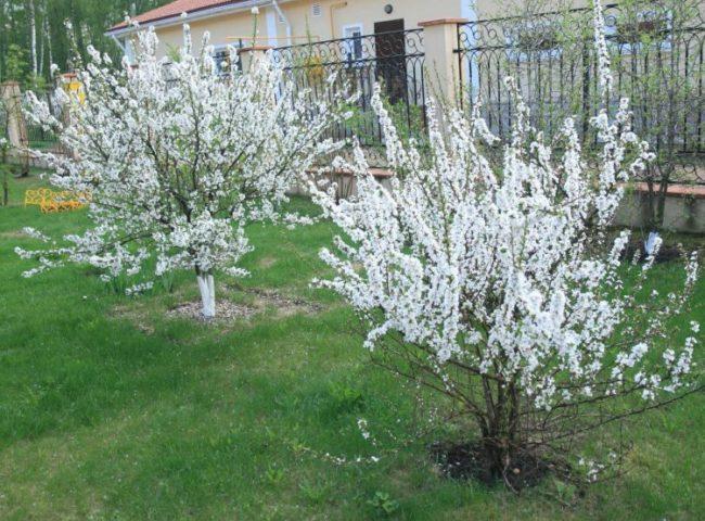 Цветение молодых кустиков вишни сортов субботинская и Максимовская