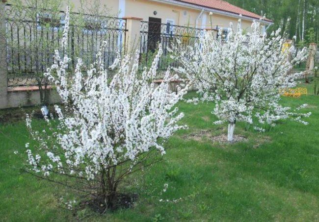 Цветение кустиков вишни войлочной на территории подмосковной усадьбы