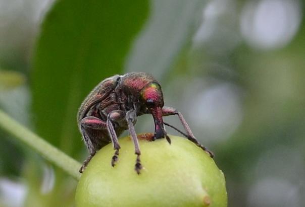 Жук-долгоносик на зеленой завязи вишни в начале летнего сезона