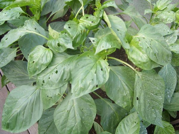 Мелкие дырки на листьях острого перца от колорадского жука