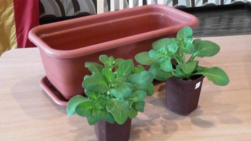 Подбор горшка для посадки двух сеянцев петунии в комнатных условиях