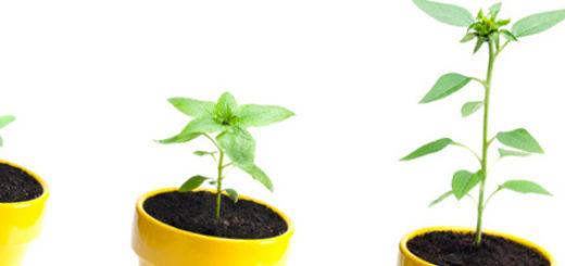Этапы выращивания подсолнуха из семечка в горшке