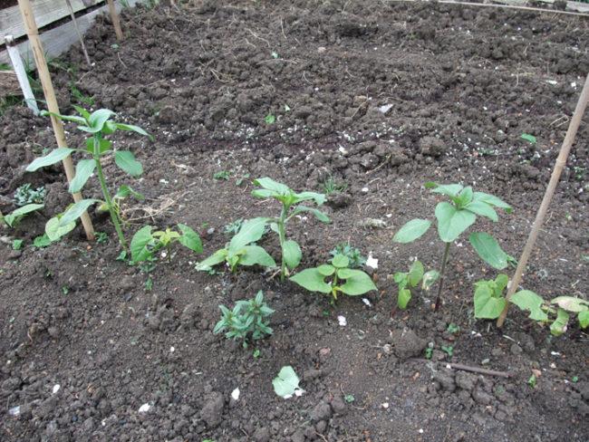 Посадка подсолнухов в один ряд с фасолью на огородной грядке