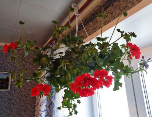 Вьющаяся герань с красными цветками на карнизе в гостиной