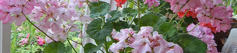 Обильное цветение герани на подоконнике