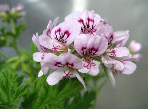 Нежно сиреневые цветки домашней герани сорта Душистая