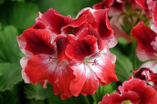 Красно-белый цветки комнатной герани сорта Королевская