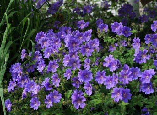 Кустики садовой герани с небольшими цветками сиреневой расцветки