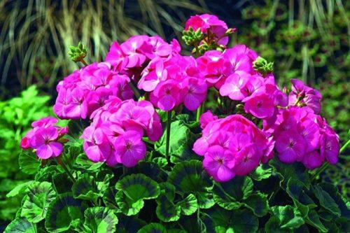 Обильное цветение зональной герани в домашних условиях