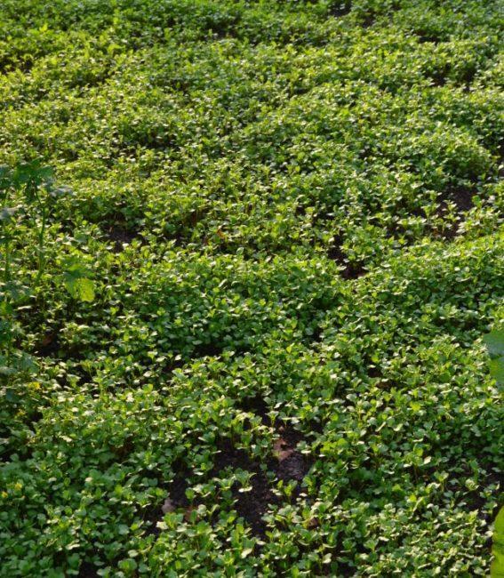 Посевы горчицы белой на дачном участке с высоким содержанием глины в почве