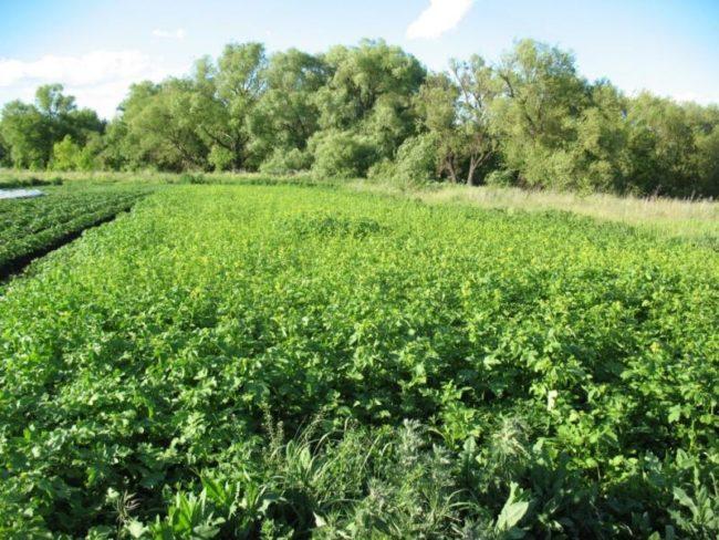 Картофельное поле с белой горчицей в качестве сидерата