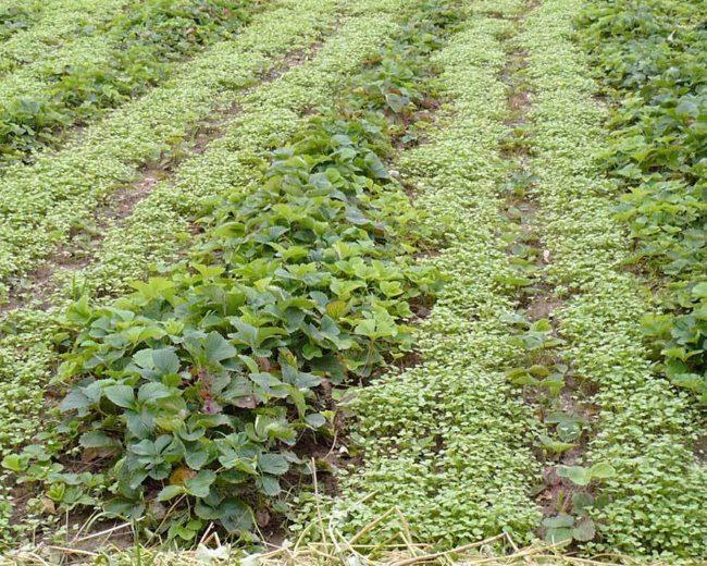 Выращивание горчицы на фермерском поле с гибридной клубникой