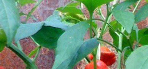 Спелые и созревающие стручки горького перца на открытом грунте