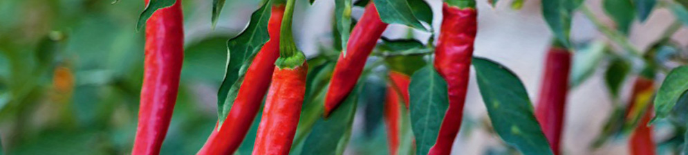 Стручки красного горького перца на кусте вблизи