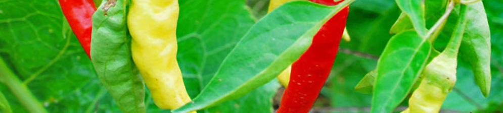 Зелёный и красный горький перец на кусте