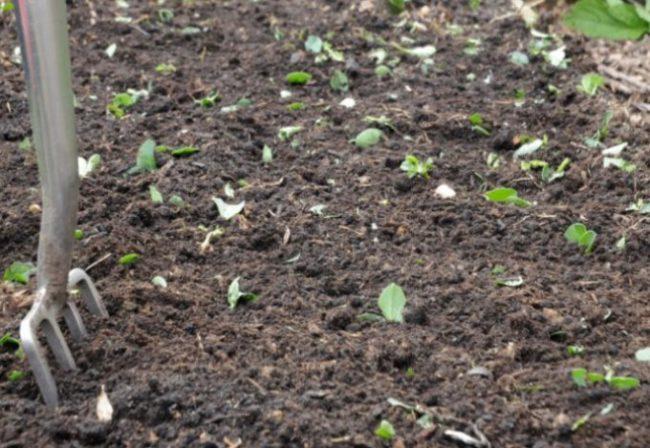 Подготовка земли на огородной грядке для посадки овса в качестве сидерата