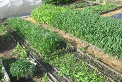 Скашивание овса на огородных грядках в летний период