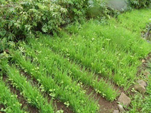 Огородная грядка с молодым овсом в конце весны