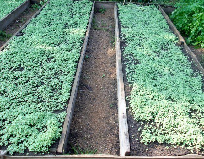 Всходы белой горчицы на грядках под помидоры с деревянными бортами