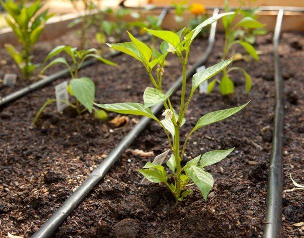 Трубки капельной системы орошения почвы на грядке с острым перцем