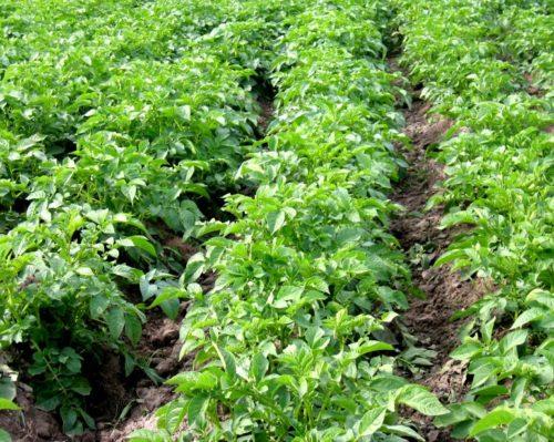 Посадки едового картофеля ровными рядами на фермерском поле