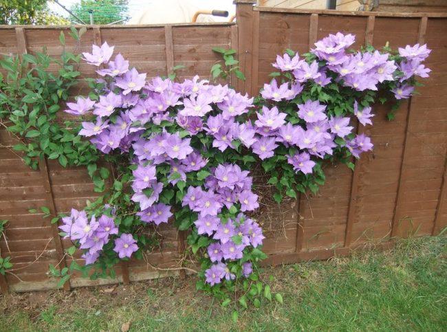 Сиреневые цветки клематиса на деревянном заборе садового участка