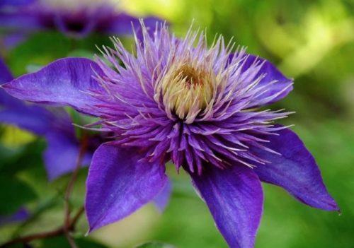 Махровый цветок на прошлогодней лиане клематиса