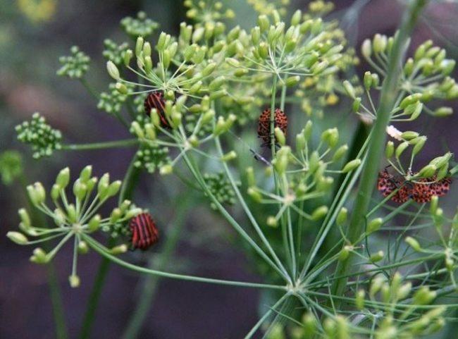 Клопы полосатые на зонтичных соцветиях укропа огородного