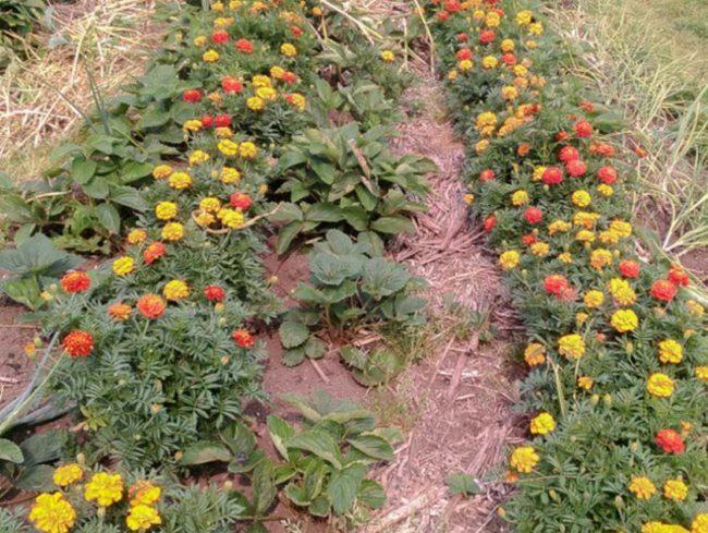 Цветущие бархатцы на грядке с гибридной клубникой