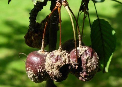 Гнилые плоды вишни при заражении культуры коккомикозом