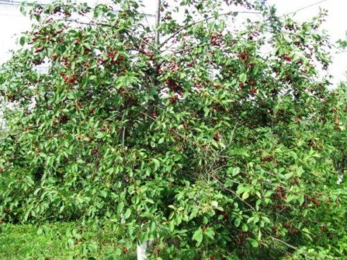 Взрослый куст вишни сорта Заря Поволжья в начале периода плодоношения