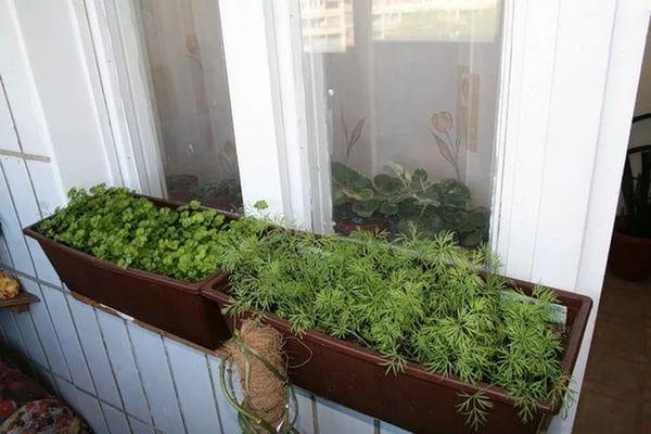 Выращивание огородной зелени в контейнерах на открытом балконе