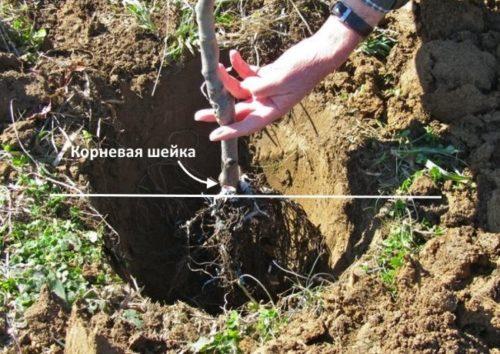 Правильное расположение корневой шейки на саженце вишни