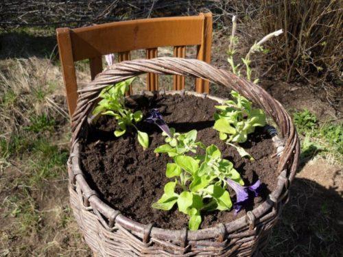 Сеянцы петунии в самодельном кашпо из плетенной корзинки