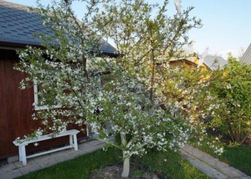Взрослое дерево вишни селекционного сорта Краса Татарии в период цветения