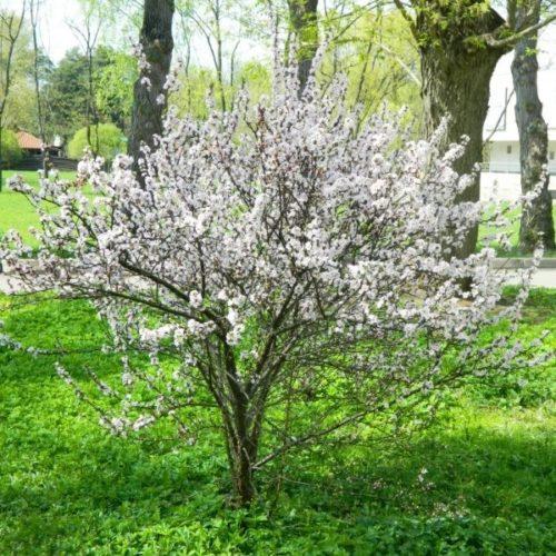Цветение вишни гибридного сорта Богатырка в городском парке