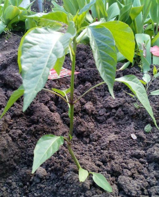 Невысокий кустик острого перца на отдельной грядке садового участка