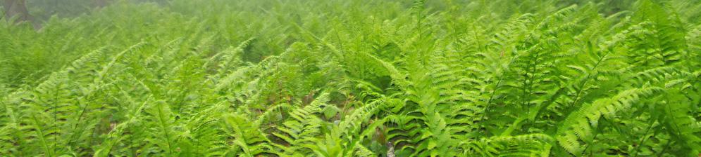 Папоротник в лесу в тумане вся поляна в этом цветке