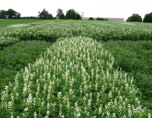 Выращивание однолетнего люпина на картофельном поле как сидерата