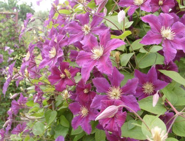 Первое обильное цветение клематисов на третий год после посадки саженцем