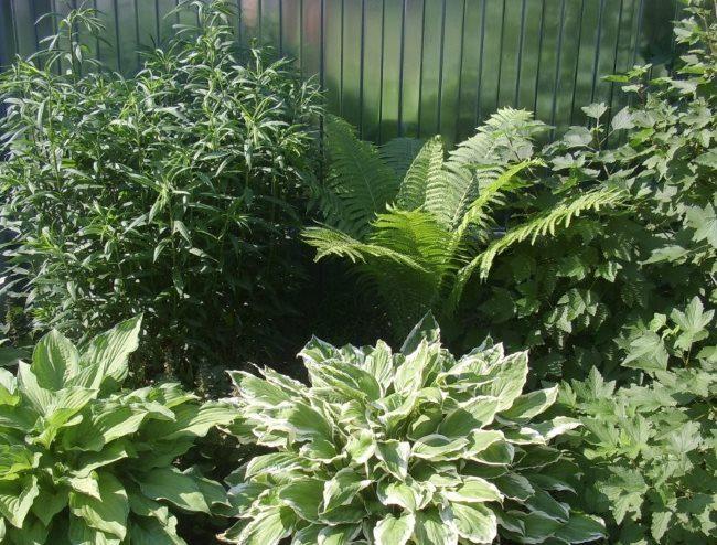 Лесной папоротник на садовой клумбе вместо с другими тенелюбивыми растениями