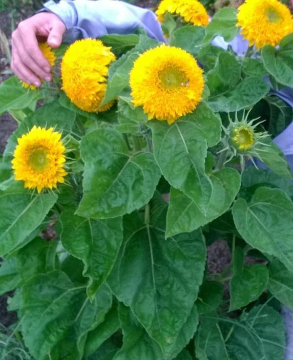 подсолнечник выращивание из семян