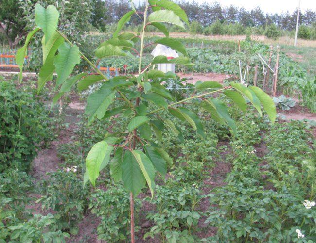 Светло-зеленые листья на молодом саженце вишни в первый год после посадки