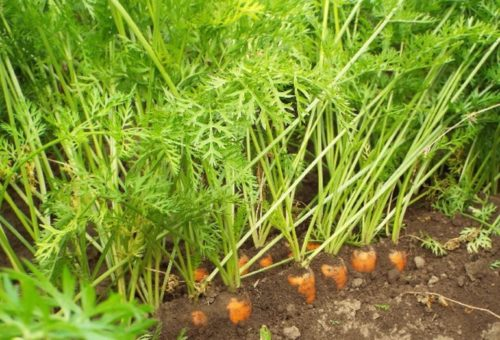 Светло-зеленая ботва столовой моркови на грядке в огороде